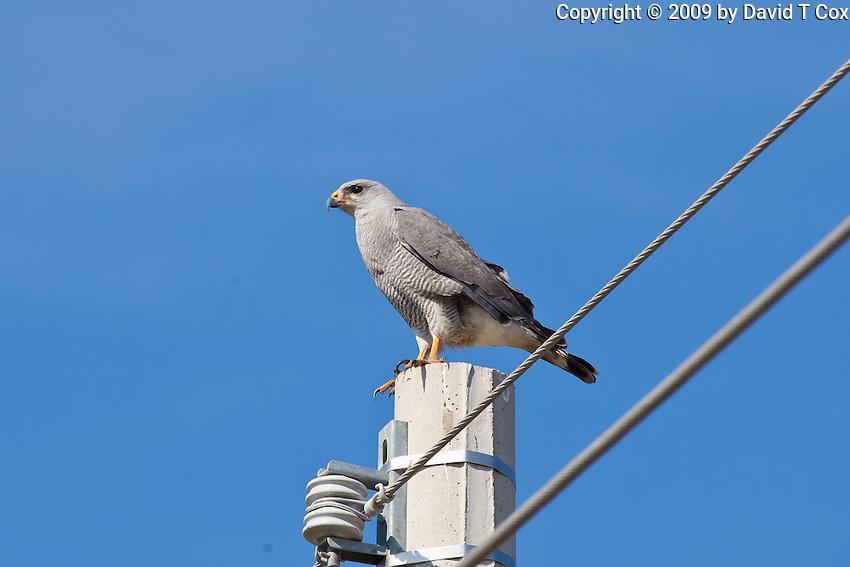 Grey Hawk, Sinaloa, Mexico