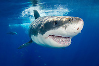 Great white shark, Carcharodon carcharias, Guadalupe Island, Mexico, Eastern Pacific Ocean