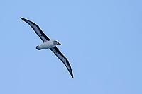 Gray-headed Albatross (Thalassarche chrysostoma) adult in flight near Macquarie Island Station, Macquarie Island, Australia.