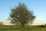 Whitebread Meadow Bourne Lincolnshire UK. The Hawthorne tree that is mentioned in Mathews Clay's Will.