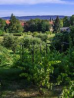 Weinberg im barocken Magdalenengarten in Hildesheim, Niedersachsen, Deutschland, Europa<br /> vinyard in baroque Magdalen Garden in Hildesheim, Lower Saxony, Germany, Europe