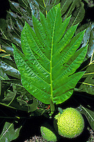 Breadfruit (ulu) is a native plant important in Hawaiian culture. The fruit is a source of food.