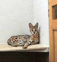 A Serval (African Wild Cat) at the Noah Inner City Zoo. The Noah Inner City Zoo is a pet shop that sells exotic animals. The 'zoo' claims to have more than 300 species for sale, many of which are rare and some are even endangered.