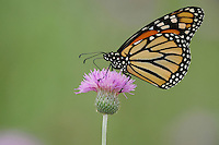 Monarch (Danaus plexippus), adult feeding on Texas thistle (Cirsium texanum), Fennessey Ranch, Refugio, Coastal Bend, Texas, USA