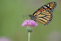 Monarch (Danaus plexippus), adult feeding on Texas thistle (Cirsium texanum), Fennessey Ranch, Refugio, Coastal Bend, Texas, USA