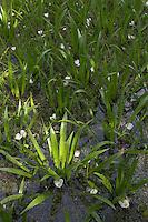 Krebsschere, Krebs-Schere, Wasseraloe, Stratiotes aloides, Water Aloe, Water Soldier, Aloès d`eau, Macle