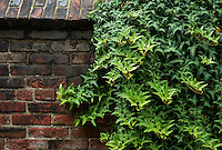 Ivy covered antique brick garden wall.