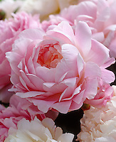 Detail of a pink peony