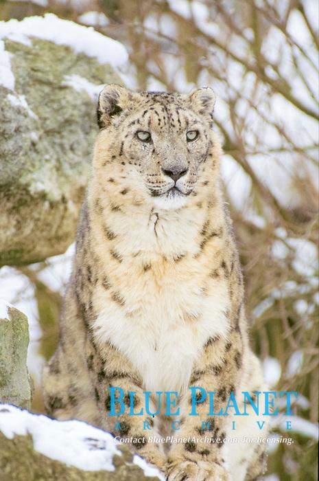 Snow Leopard (Panthera uncia), male, captive