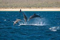 Bottlenose dolphin (tursiops truncatus) A trio of bottlenose dolphins. Gulf of California., Baja California, Mexico, Pacific Ocean