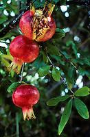 Granatapfel, Granat-Apfel, Grenadine, reife Früchte am Baum, Punica granatum, pomegranate