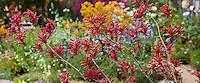 Red, maroon flower Kangaroo Paw Anigozanthos ' Big Red' in California garden