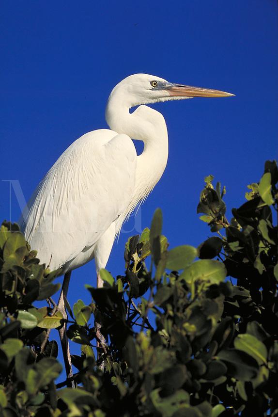 GREAT WHITE HERON (ARDEA HERODIAS OCCIDENTA) ISLAMARADA, FLORIDA KEYS. ISLAMARADA (FLORIDA KEYS) FLORIDA USA.