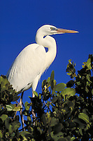GREAT WHITE HERON (ARDEA HERODIAS OCCIDENTA) ISLAMARADA, FLORIDA KEYS. ISLAMARADA (FLORIDA KEYS) FLORIDA USA.