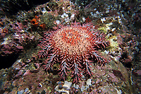 crown of thorns, Acanthaster ellisii, Cocos Island, National Park, Natural World Heritage Site, Costa Rica, Pacific Ocean