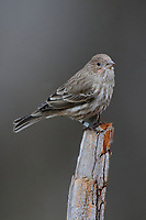 Adult female House Finch (Carpodacus mexicanus). Tompkins County, New York. December.