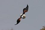Fish eagle diving toward a fish meal on the Okavango River, in Botswana.