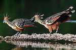 A pair of hoatzin (Opisthocomus hoazin) (family Opisthocomidae) (also known as skunk bird, stink bird or Canje pheasant) on a floating log in Cocha Salvador ox-bow lake. Manu Biosphere Reserve, lowland Amazon rainforest, Peru.