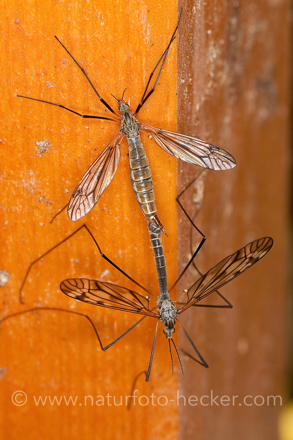 Schnake, Kopula, Paarung, Kopulation, Tipula varipennis, Tipula variipennis, crane fly, crane-fly, Schnaken, Tipulidae, crane flies, crane-flies, daddy-long-legs
