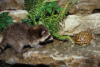 Ornate box turtle makes slow haste to escape the baby raccoon, Pryon lotor,