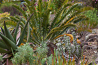 Cycad in South African section of University of California Berkeley Botanical Garden