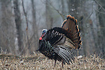 Jake eastern wild turkey in spring