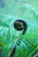 Native indigenous plant the hapuu fern ( Cibotium splendens) with a curled up frond with pulu growing on it