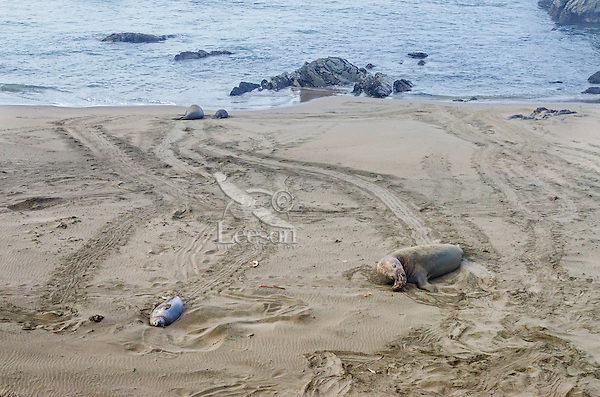 Northern Elephant Seals (Mirounga angustirostris) resting on beach (large bull on right).  Central California Coast.  March.  Photo shows the tracks they make coming onto the beach from the ocean or going back from the beach to the water.
