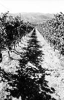 Vigneto presso Montalto Pavese (Pavia) --- Vineyard near Montalto Pavese (Pavia)