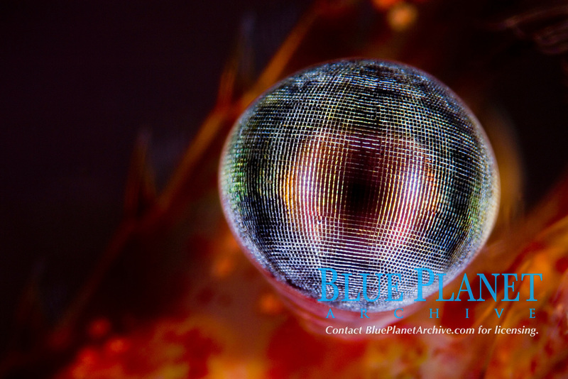 Eye detail of Shrimp, Pandalus montagui, Bergen, Hordaland, Norway, North Atlantic Ocean