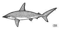 Scalloped hammerhead, Sphyrna lewini, lateral view, pen and ink illustration.