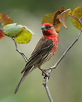 Common bird the House Finch. But I like the cheerful red head and breast of the male, & the bird's long, twittering song.<br />