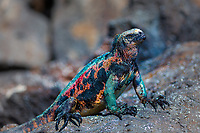 Colorful Christmas marine iguana close-up portrait, on a volcanic stone in the Galapagos Islands, Ecuador
