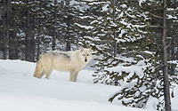 Alpha female of the Wapiti Lake Pack of gray wolves, deep in the Yellowstone interior.  February 2018.