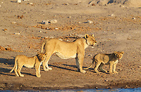 Lion (Panthera leo), female with two cubs at a waterhole, Etosha National Park, Namibia, Africa