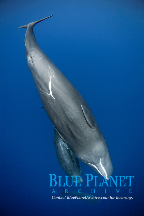 sperm whale, or cachalot, Physeter macrocephalus, mother and calf, Dominica, Caribbean Sea, Atlantic Ocean, permit # RP 13/365 W-03