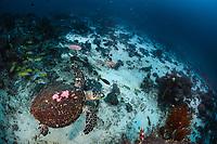 hawksbill sea turtle, Eretmochelys imbricata, Raja Ampat, West Papua, Indonesia, Pacific Ocean