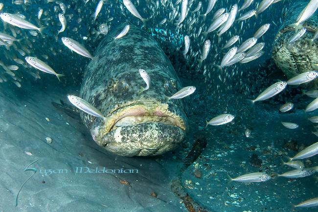 atlantic goliath groupers cloaked in bait fish, endangered species, Epinephelus itajara, Goliath Groupers and bait balls, itajara, IUCN Red List vulnerable, jewfish, sardines, spawning event, MG111, Jupiter, FL
