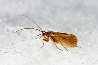 Köcherfliege, im Winter auf Schneefläche, Chaetopteryx villosa, Köcherfliegen, caddisfly, sedge-fly, rail-fly, caddisflies, sedge-flies, rail-flies, Trichoptera