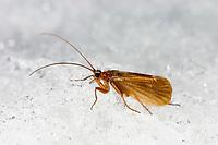 Köcherfliege, im Winter auf Schneefläche, Chaetopteryx villosa, Köcherfliegen, caddisfly, sedge-fly, rail-fly, caddisflies, sedge-flies, rail-flies, Trichoptera