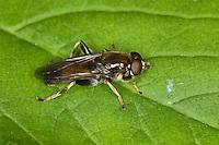 Gemeine Langbauchschwebfliege, Langbauch-Schwebfliege, Schwebfliege, Xylota segnis, Common Red Leafwalker