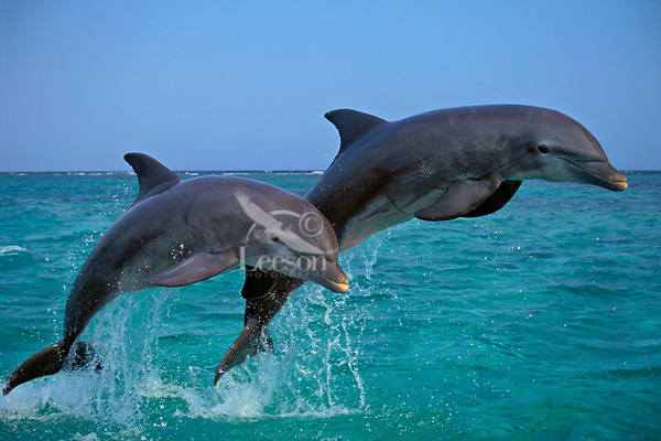 Common Bottlenose Dolphins or Bottle-nosed Dolphins jumping in Pacific Ocean off coast of Honduras.