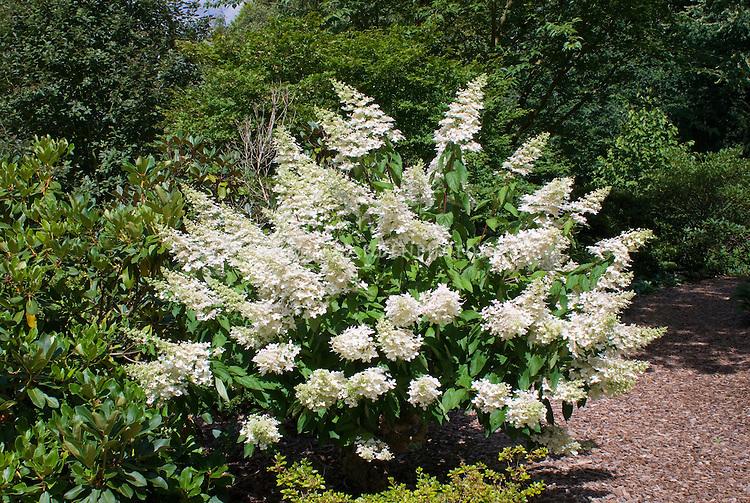 Peegee hydrangea shrub, Hydrangea paniculata 'Grandiflora' in flower in the garden