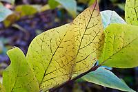 Calycanthus floridus var. glauca Smooth Sweet-shrub in autumn color