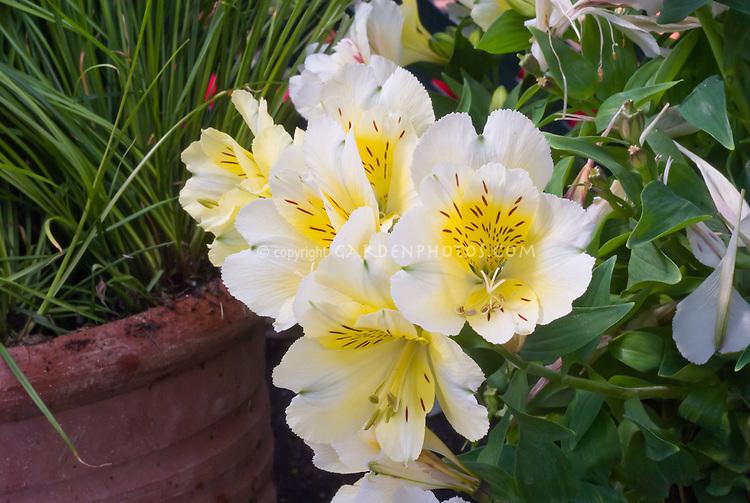 Alstroemeria 'Intichantha Sunlight' yellow gold flowers