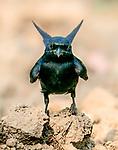 Drongo looks like batman, but where's his sidekick Robin!? by Sundeep Kumar