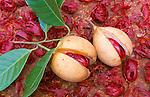 Karibik, Kleine Antillen, Grenada: Fruechte des Muskatnussbaum (Myristica fragrans) | Caribbean, Lesser Antilles, Grenada: fruit if the nutmeg tree