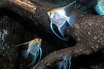 Silver angelfish swimming in wood habitat