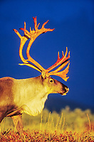 Majestic bull caribou with large antlers is illuminated by the golden evening sunshine on the autumn tundra in Denali National Park, Alaska.