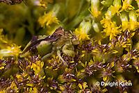 AM01-582z  Ambush Bug camouflaged on goldenrod, Phymata americana